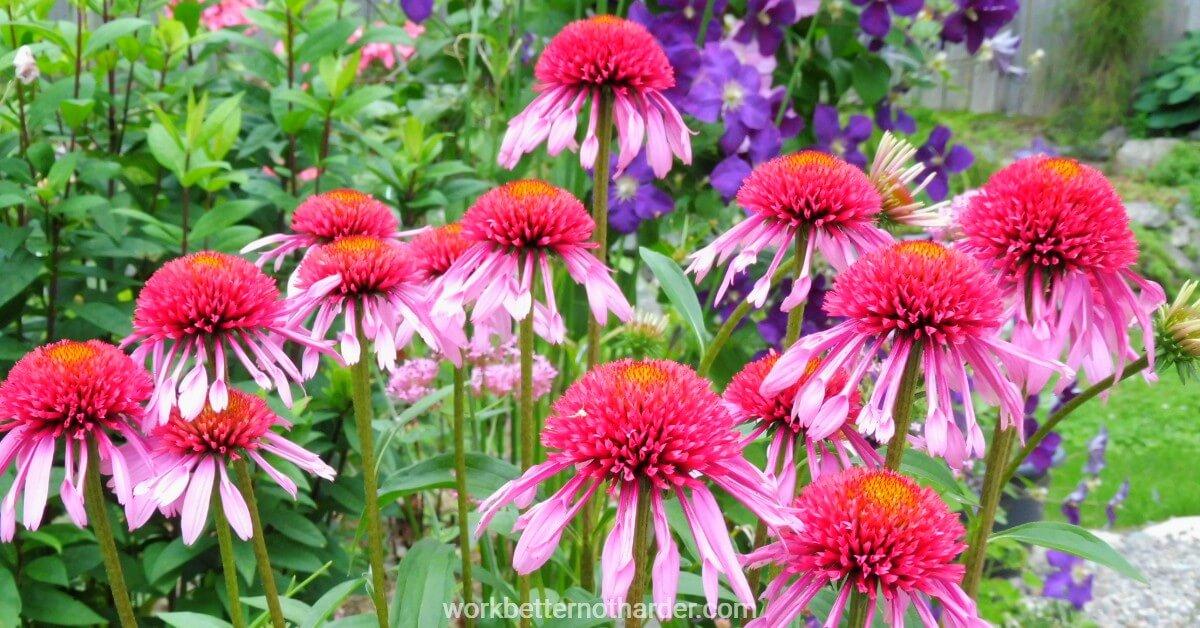 coneflowers in garden